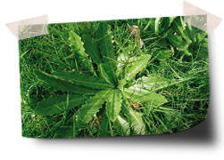 Des grands mauvaises herbes dans le jardin probl mes for Mauvaises herbes du jardin photos